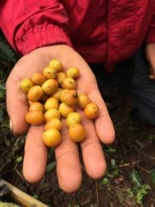 odrůdy kávy nikaragua