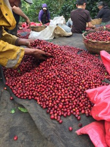 sběr kávy Nikaragua